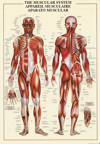 muscular system education poster 26x38 | human body anatomy, Muscles