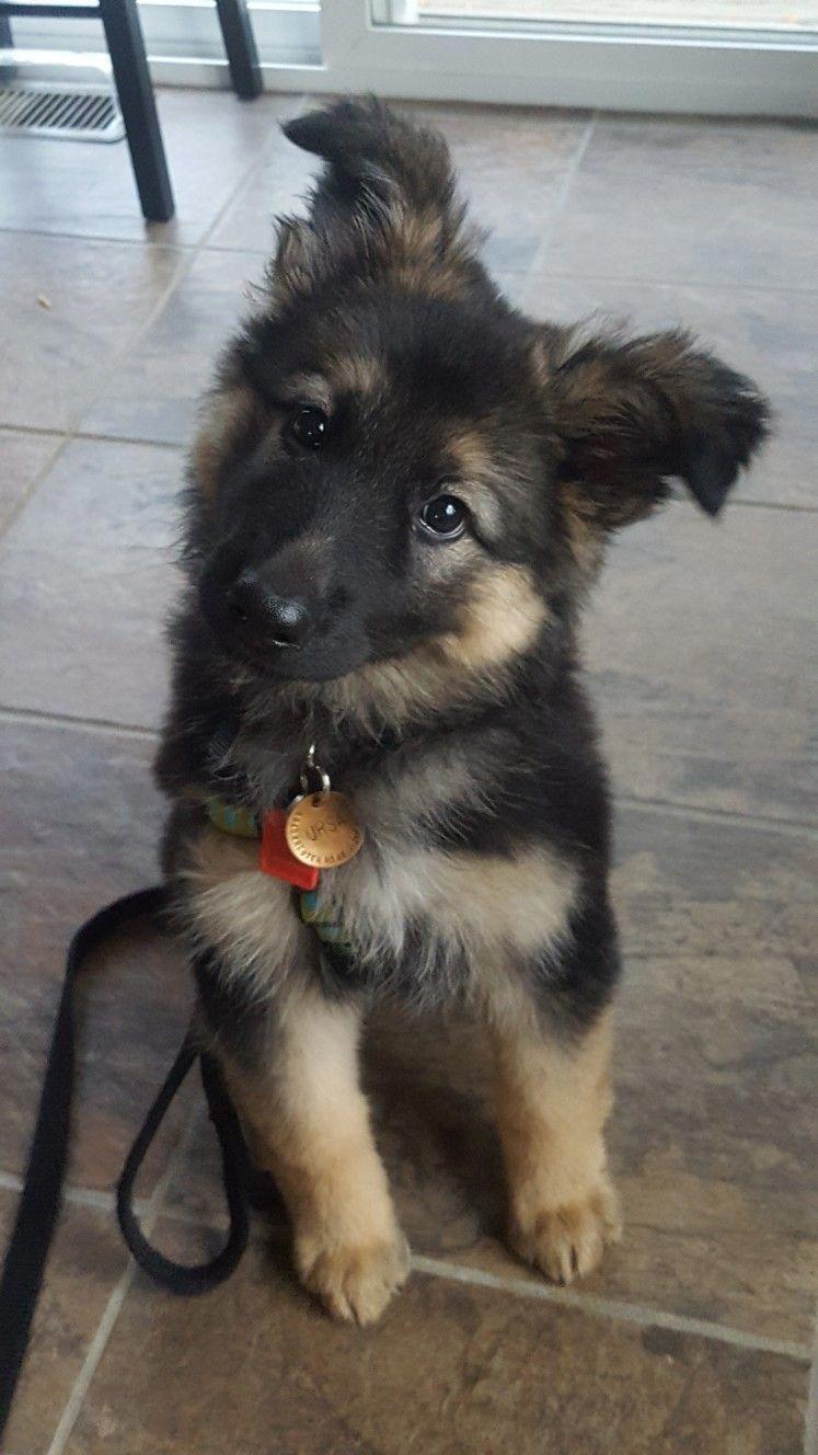 9 Week Old German Shepherd Dog Ursa Germanshepherd German