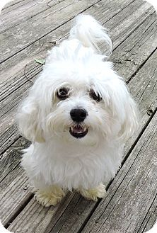Westport Ct Maltese Mix Meet Winston A Dog For Adoption Dog