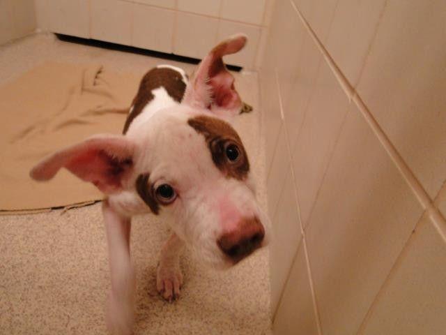 Omg Pitbulls Puppies American Bull