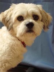 Adopt Sammy On Cute Dogs Lhasa Apso Dogs
