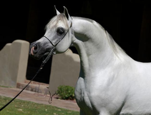 اسم الفحل ام البيشان الأب ام الشهمان الأم ام البنيدكت مواليد ٢٠٠٤ اللون اشعل المالك مربط لنجاوي للخ Arabian Horse Stallion Yorkie Puppy For Sale