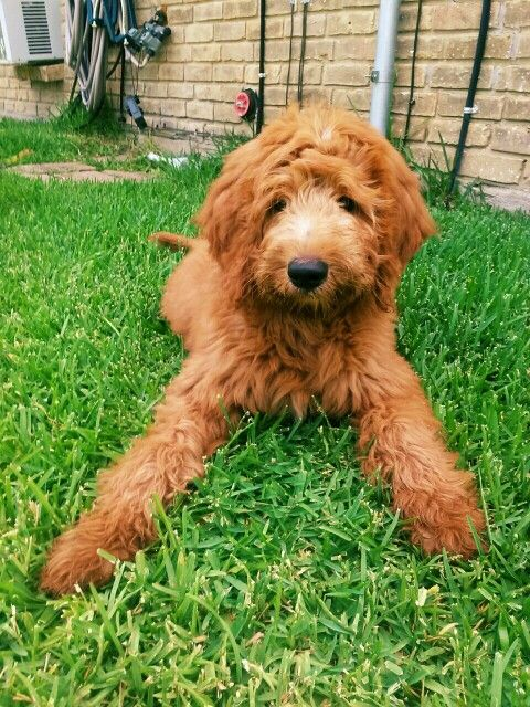 Lucky the goldendoodle