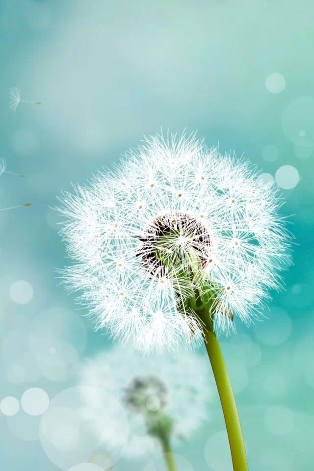 Pin By Ilikewallpaper All Iphone Wa On Iphone 4 S Wallpapers Dandelion Wallpaper Dandelion Flower Wallpaper
