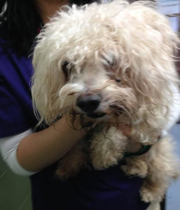 SUPER URGENT 10/26/14 Manhattan Center PJ - A1021644 *** AVERAGE HOME *** MALE, WHITE, POODLE TOY MIX, 10 yrs STRAY - STRAY WAIT, NO HOLD Reason STRAY Intake condition GERIATRIC Intake Date 11/25/2014, From NY 10467, DueOut Date 11/29/2014, https://www.facebook.com/Urgentdeathrowdogs/photos/pb.152876678058553.-2207520000.1417548138./915385325141014/?type=3&theater +++++++++++friendly + playful++++++++++