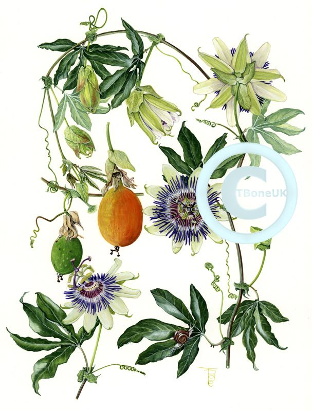 Passion Flowers Google Search Vine Drawing Flower Illustration Passion Flower