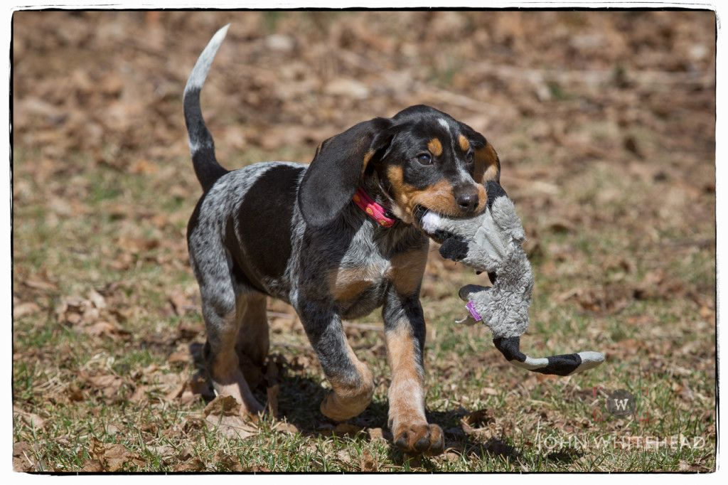 Bluetick Coonhound Puppy Coonhound Puppy Bluetick Coonhound