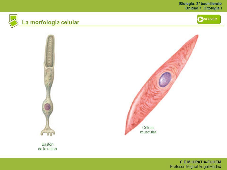 forma de cel·lula muscular | fonaments biològics CAFEMN 2016 2017 ...