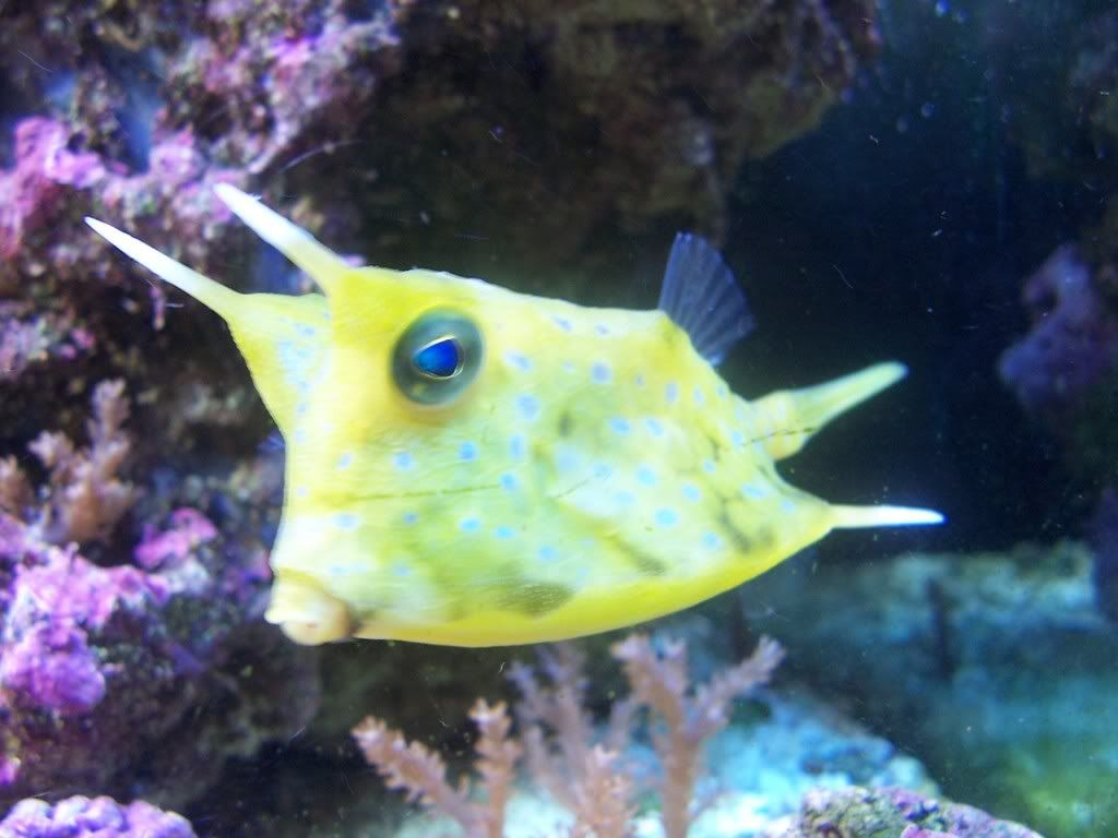 My Personal Favorite...The Long Horn Cow Fish :)