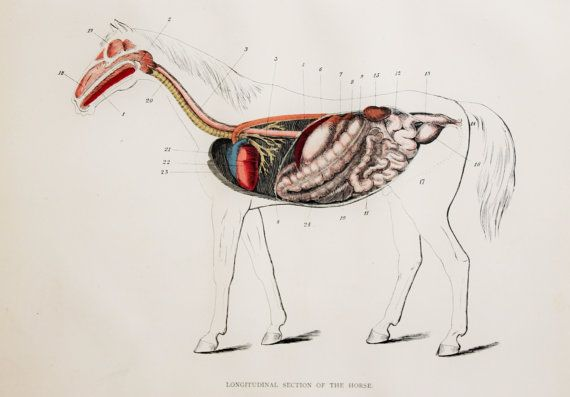 Antique Horse Print, Horse Anatomy, Stomach, Digestive System ...