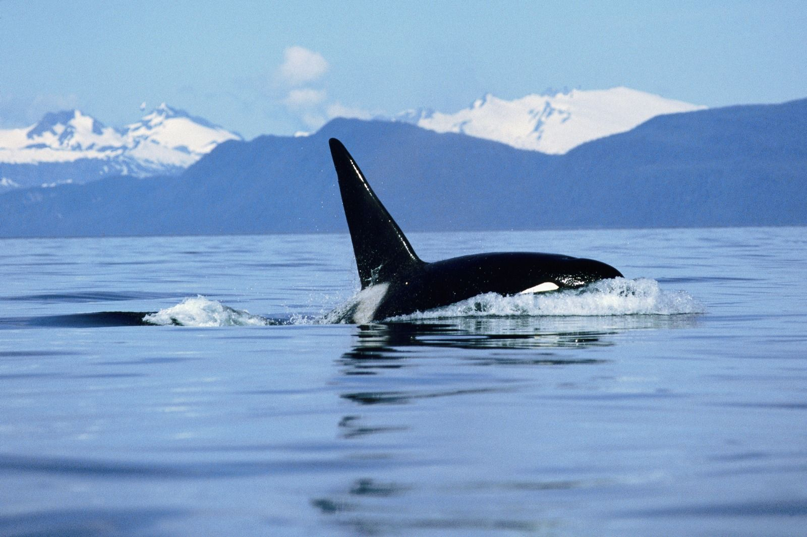 Killer whales wallpapers wallpaper 20481536 pictures of killer killer whales wallpapers wallpaper 20481536 pictures of killer whales wallpapers 49 wallpapers altavistaventures Gallery