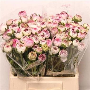 Multi Pink And Cream Ranunculus Late Winter To Spring Season Britishflowers Chirpeeflowers Pink Flower Arrangements Simple Flower Arrangements Ranunculus