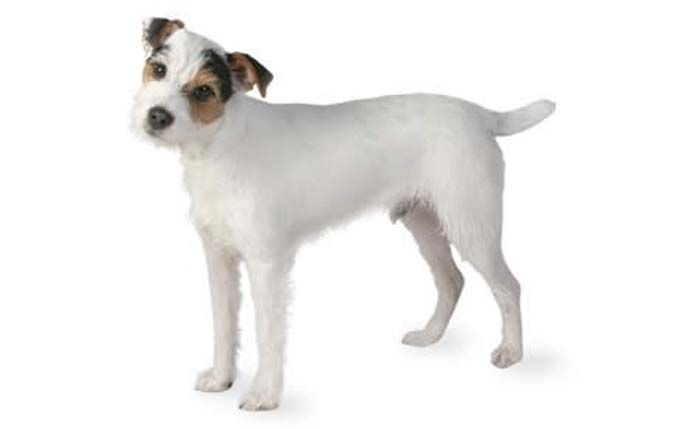Small Dogs Who Are Easy To Train Russell Terrier Terrier Dog