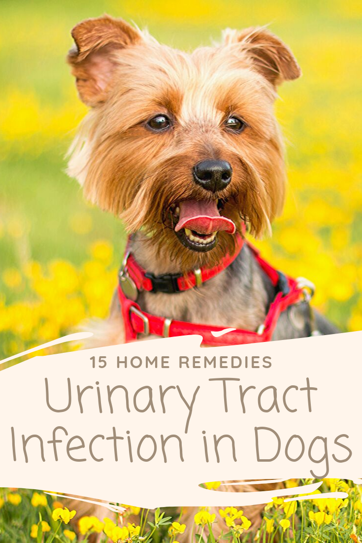 How To Treat Uti In Dogs Homeremedies And Medicine Options A