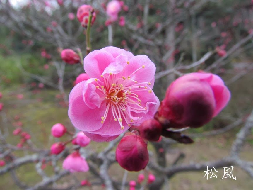Ume ♥ http://matsukaze-jou.blogspot.fi/