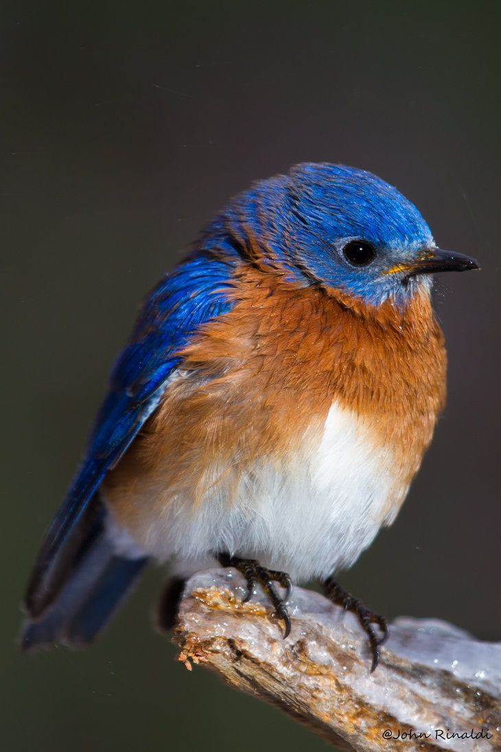 Eastern Bluebird resting on an icy branch ~ Such a beautiful shot of ...