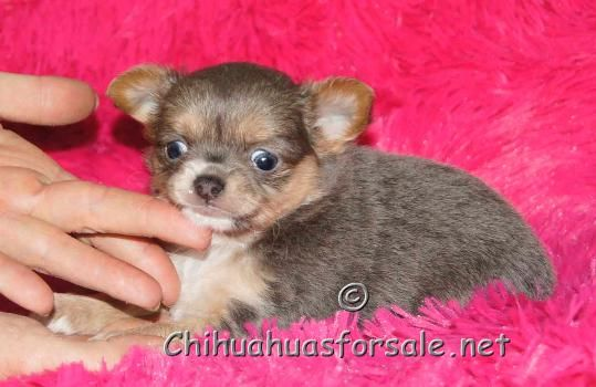 Skye Blue Long Coat Girl Sweet Little Thing Chihuahua For