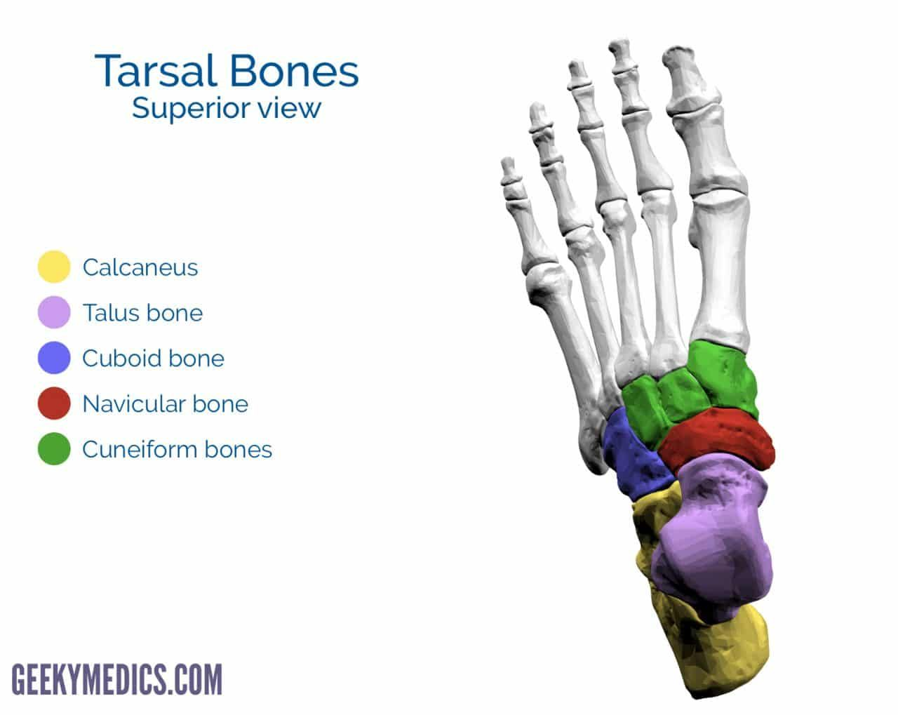 Tarsal Bones Of The Foot Superior View Basic Anatomy And Physiology Anatomy Bones Human Anatomy And Physiology