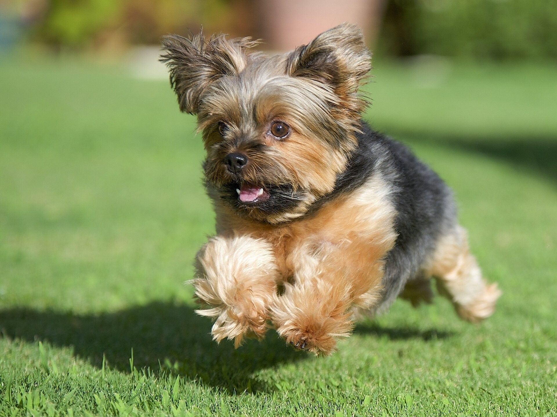 Res 1920x1440 Yorkshire Terrier New York Dog Running Grass Lawn York Dog Yorkie Very Cute Dogs