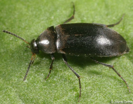 Anaspis Atrata Insects Beetle