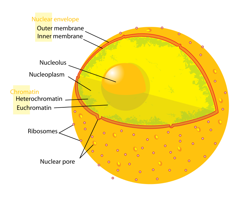 A nuclear membrane, or nuclear envelope, is the lipid
