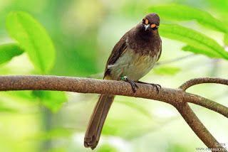 بلبل منقط برتقالي Orange Spotted Bulbul Animals Bird