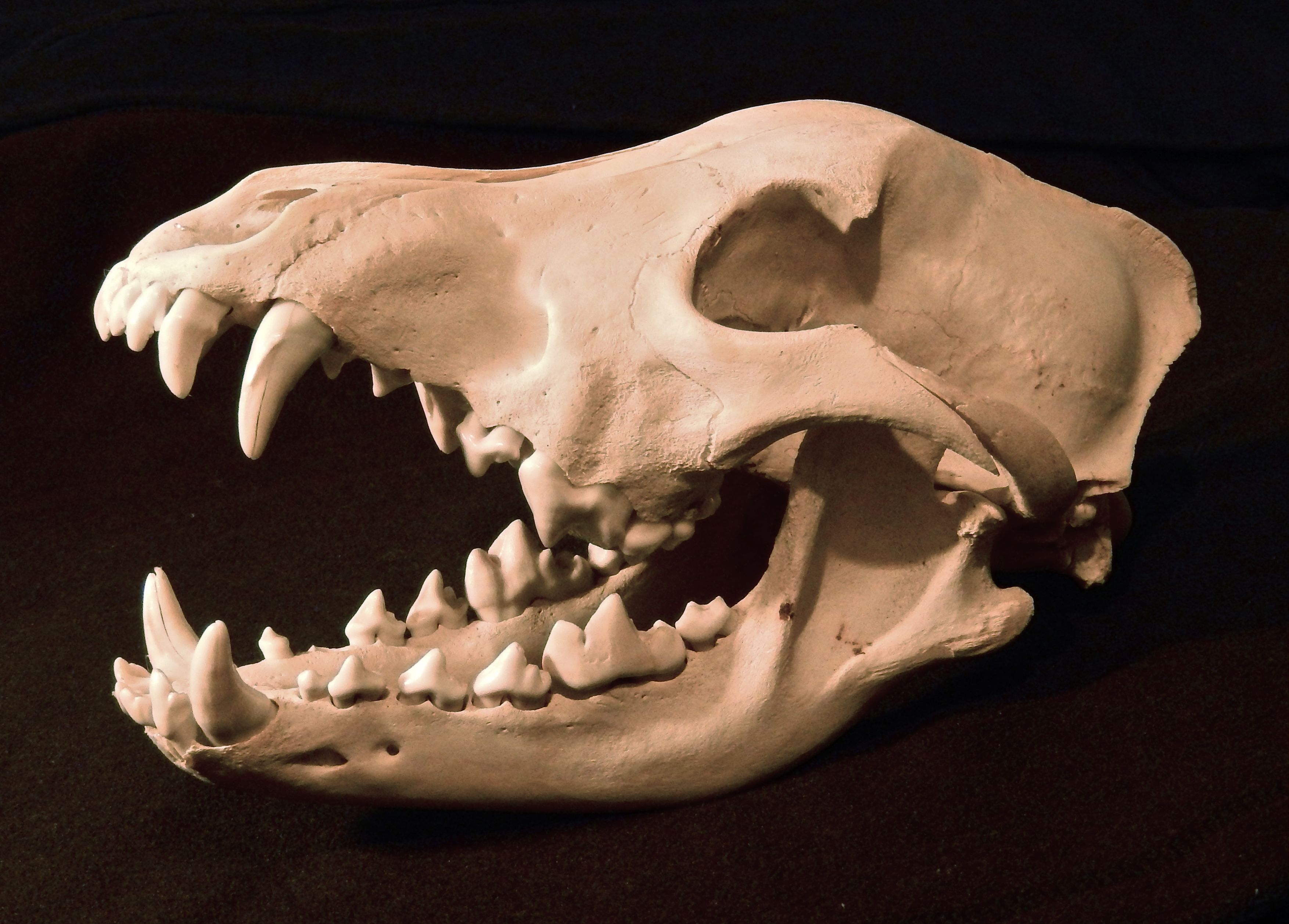 Alaskan Gray Wolf Skull