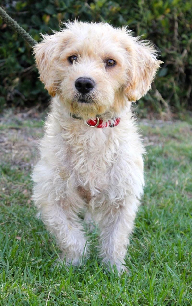 Poodle Mix Puppy Cute Little Guy Poodle Mix Puppies Poodle