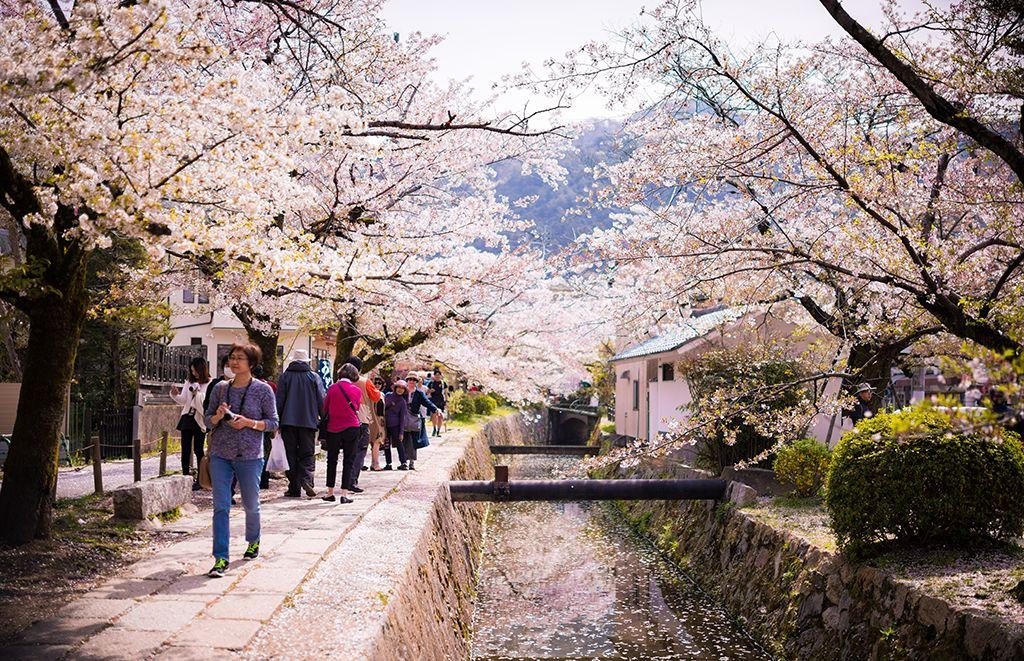 1 Day Kyoto Cherry Blossom Walking Itinerary Travel Caffeine Kyoto Cherry Blossom Lakes In California