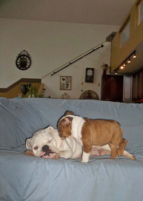 Petunia, A 4-Year-Old English Bulldog, Doesn't Have The Energy To Keep Up With This Playful Puppy.