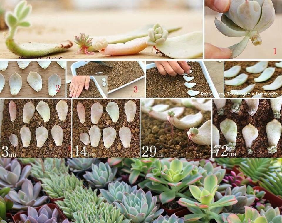 Hauswurz Selber Züchten   Garten   Pinterest   Propagate ... Jasmin In Blumentopf Zuchten Wichtige Tipps