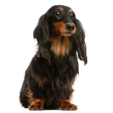 Dachshund Standard Smooth Long Wire Haired Dog Breed