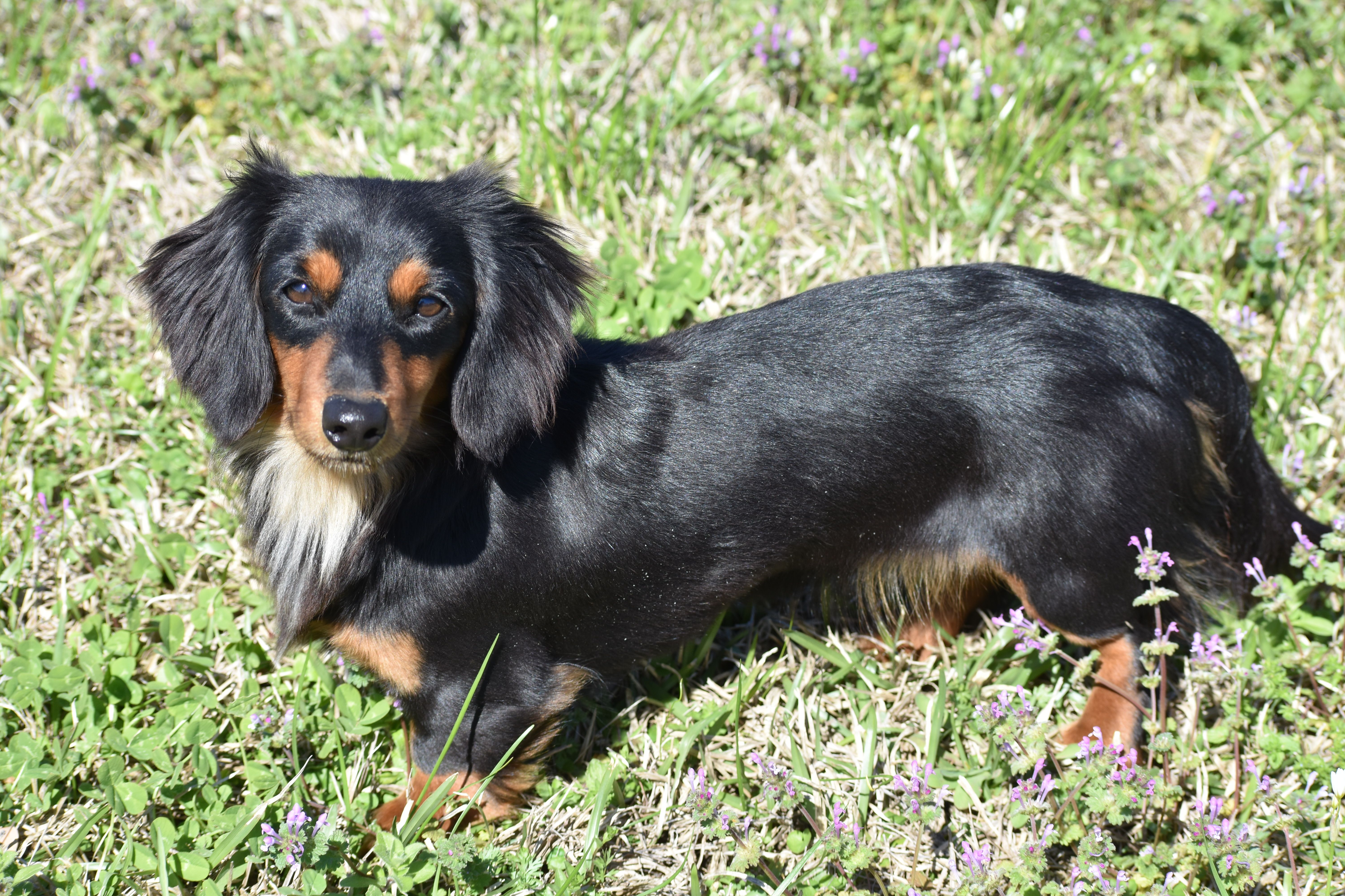Long Hair Black Tan Miniature Dachshund Bella Found At Select