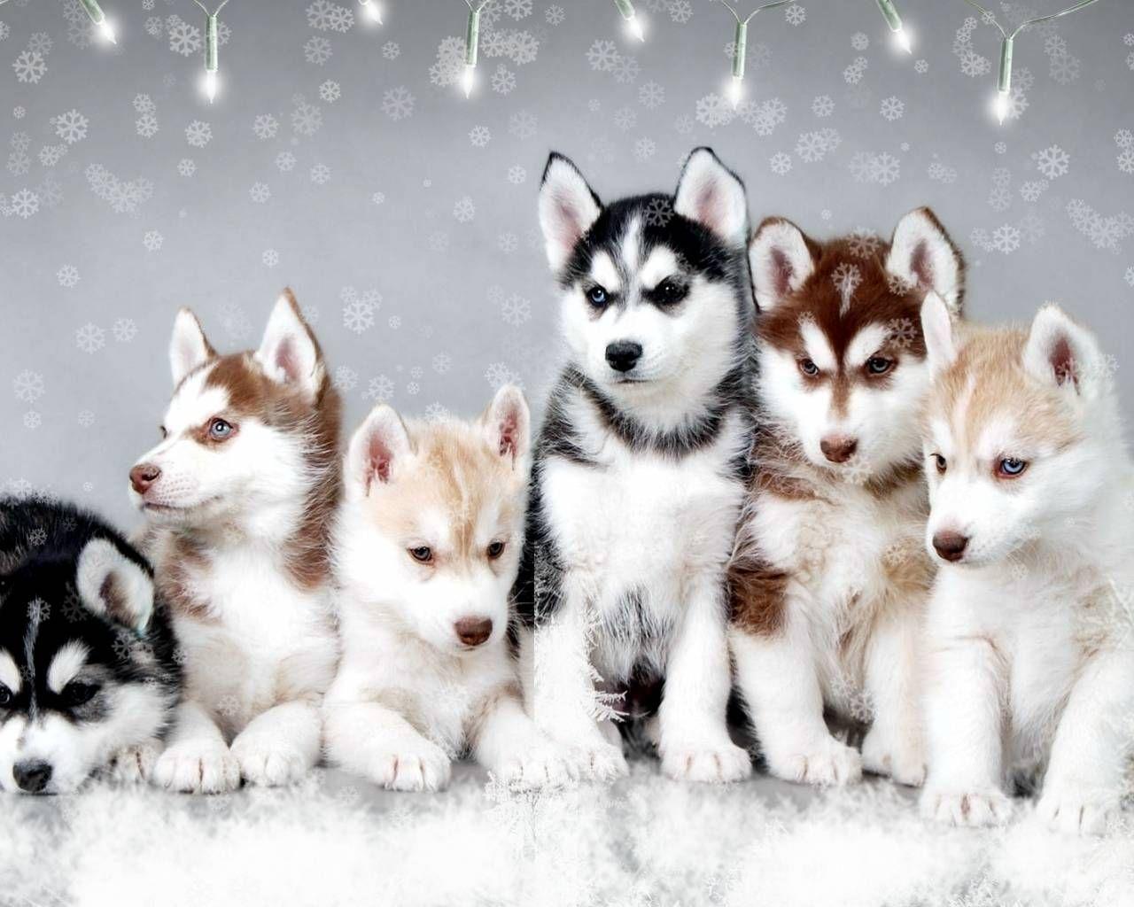 Cute Newborn Husky Puppies Snow Dogs Cute Snow Huskies
