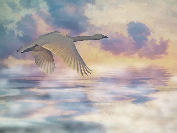Whooper Swan Flying Home  Wildlife Print Bird Art by IainSByrne, £18.50