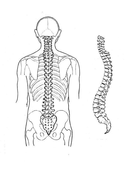Dibujo para colorear Columna vertebral | cuerpo | Dibujos, Anatomía ...