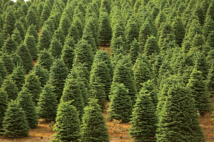 Farm Facts About Christmas Trees Farm Facts Christmas Tree Farm Tree Farms