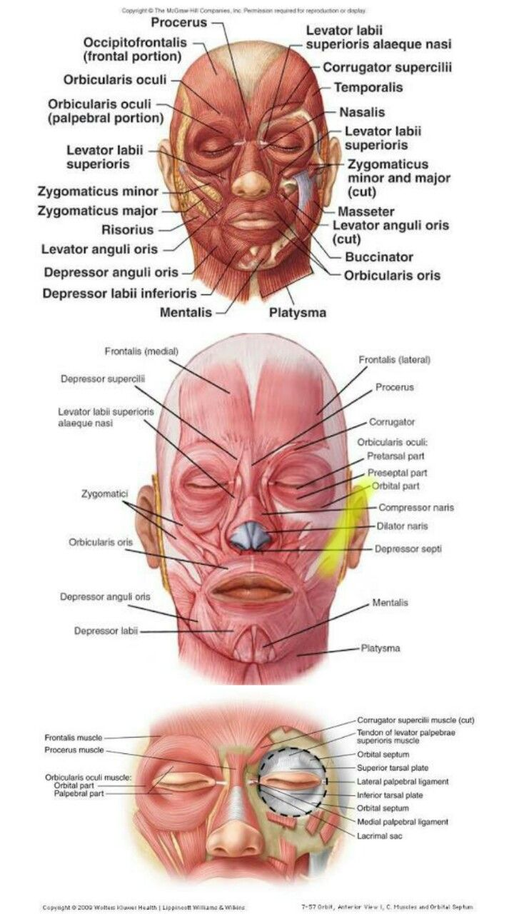 Facial Muscles Anatomy Pinterest Facial Muscles