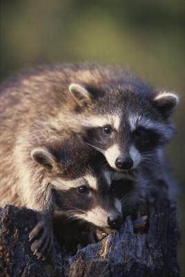 What Plants Do Raccoons Not Like Garden Hints Animals