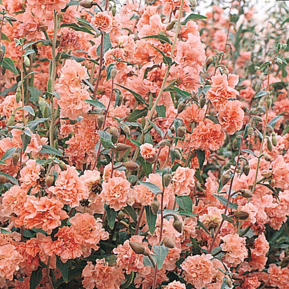 Godetia 'Apple Blossom' Hardy Annual Seeds Thompson