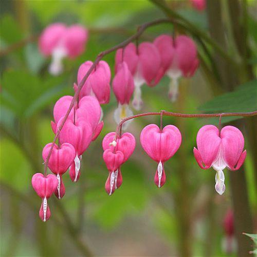 Love You Bunches Bleeding Heart Flower Bleeding Heart Flower Heart