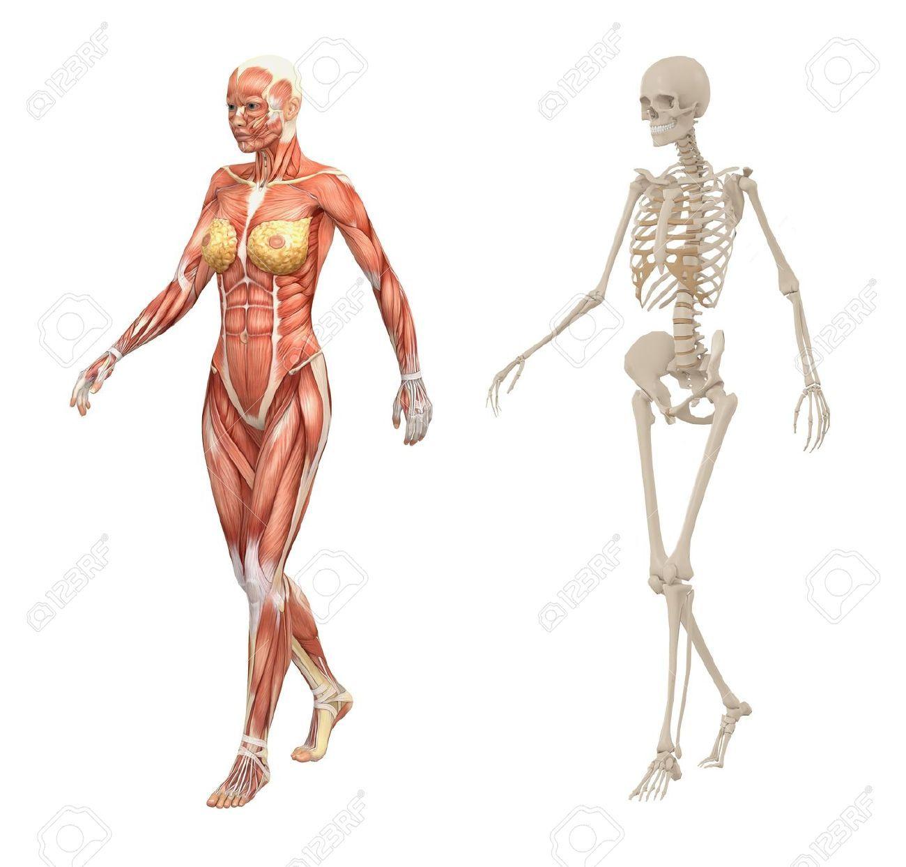 Atemberaubend Menschliches Weibliches Skelett Zeitgenössisch ...