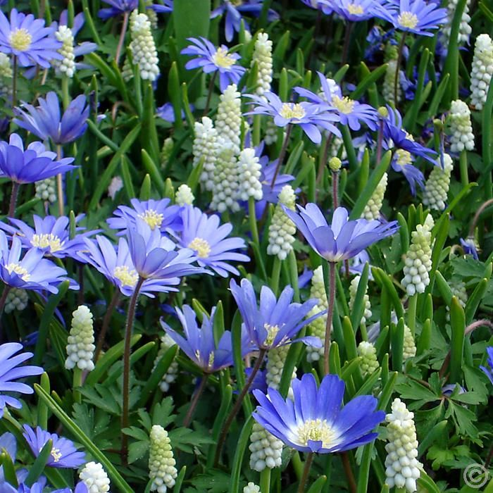 kleine traubenhyazinthe und blaue anemone 60 blumenzwiebeln g nstig online kaufen bestellen. Black Bedroom Furniture Sets. Home Design Ideas