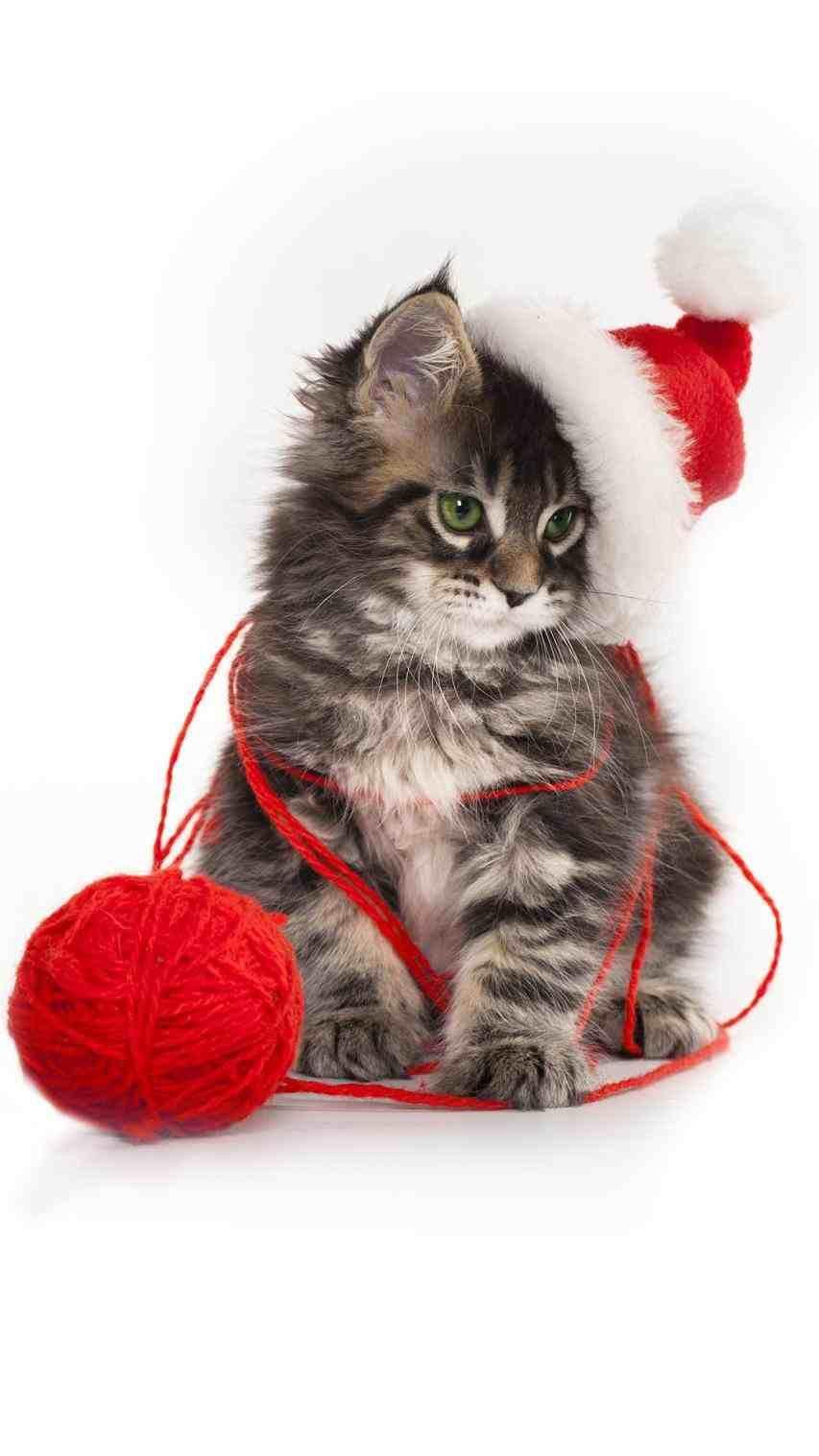 New Christmas Kittens Wallpaper At Temasistemi Net Christmas Kitten Kitten Wallpaper Christmas Pet Photos