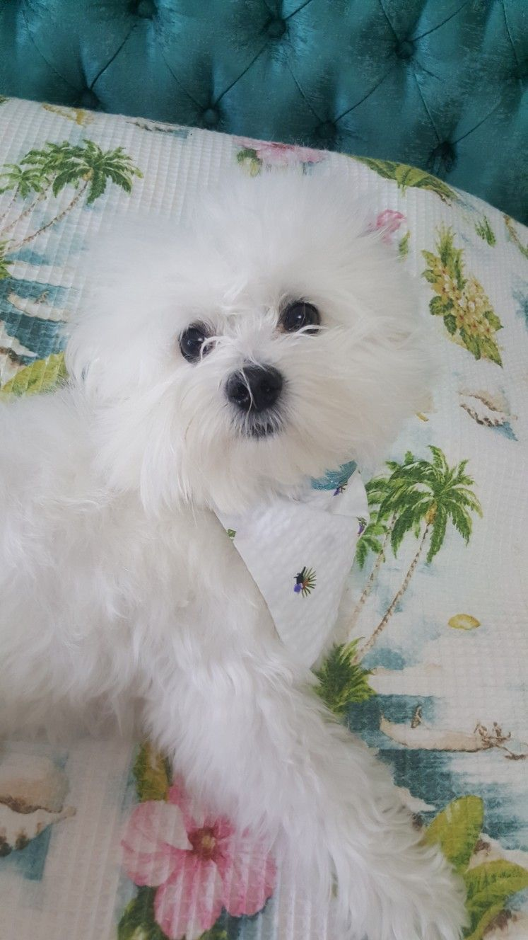 Pin By Paula Riddlebaugh On Teacup Maltese Puppies Terrier Dogs