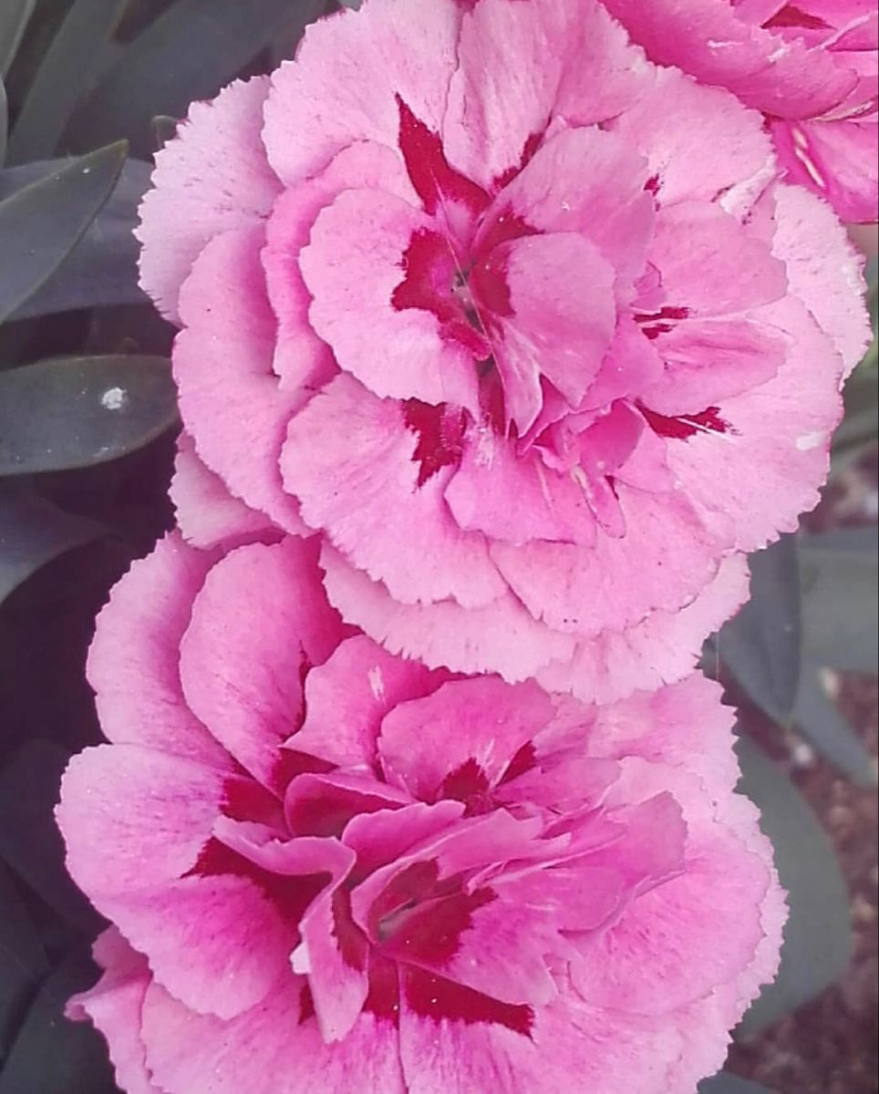 Pink Carnation In 2020 Carnation Flower Flowers For Sale Pink Carnations