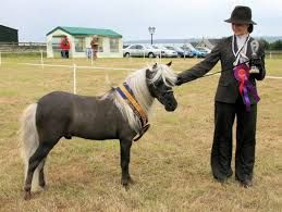 miniature horse on show