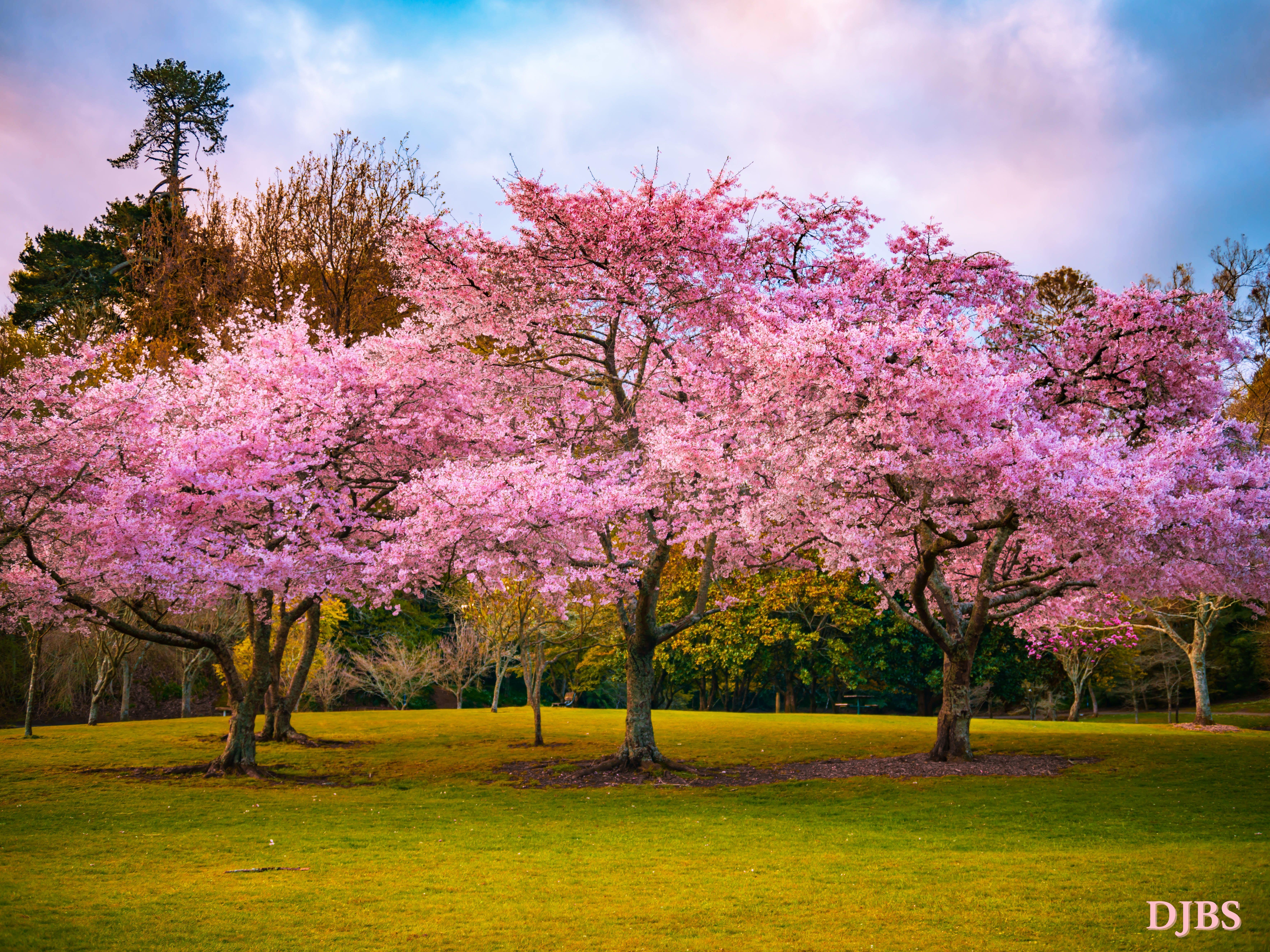 Cherry Blossoms At Lake Te Koutu Blossom Love Flowers Cherry Tree