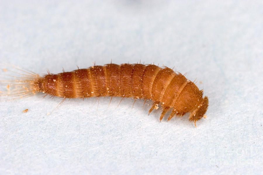 how to get rid of carpet larvae