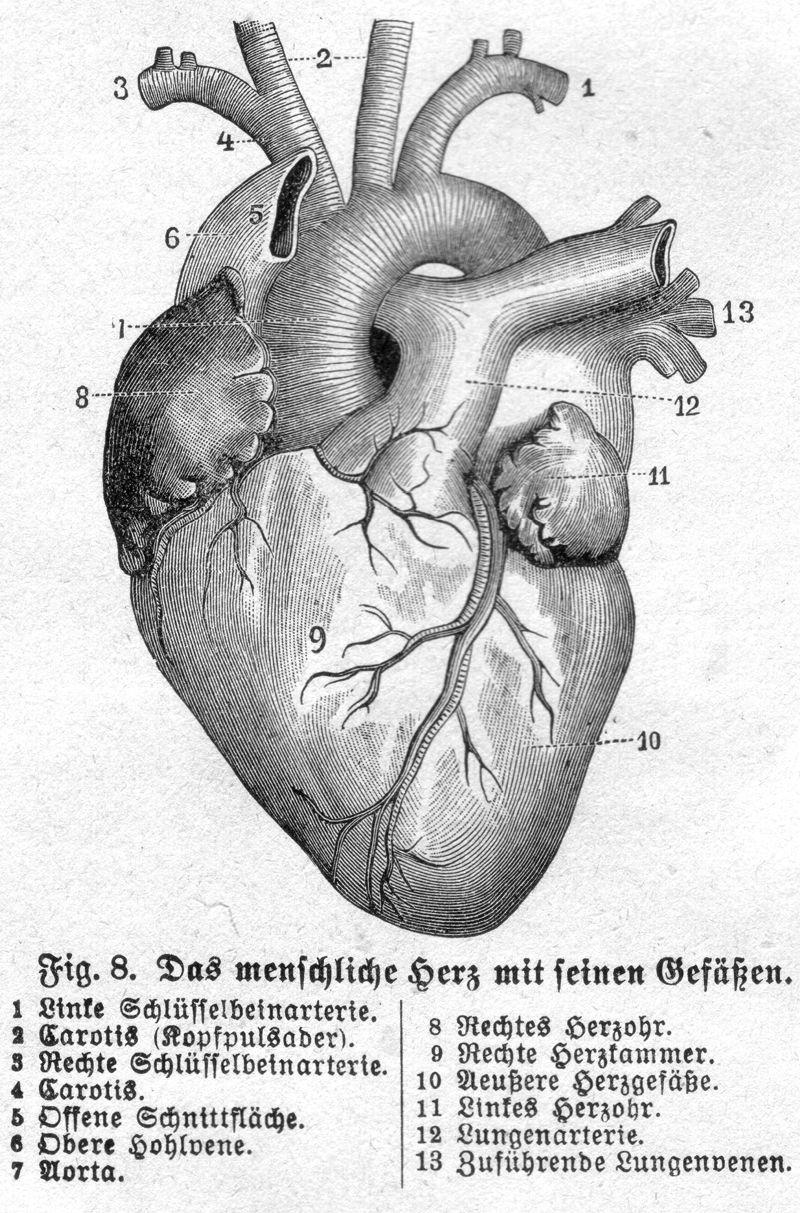 Das menschliche Herz mit seinen Gefäßen | Inspiration . | Pinterest ...